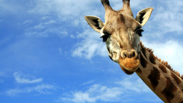 Decision Science | Arts & Culture Fundraising | Giraffe at a zoo - slide